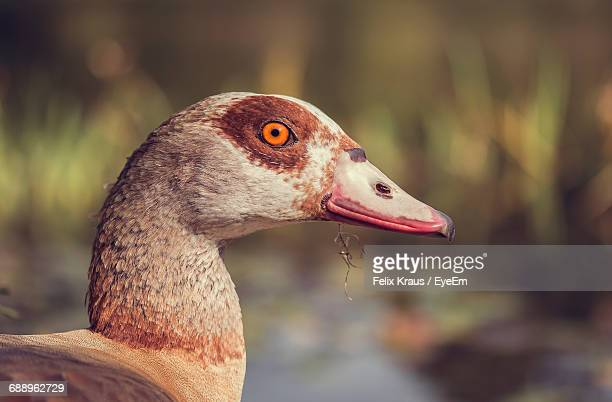 Close-Up Of Egyptian Goose