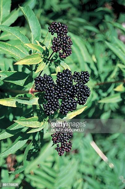Closeup of Elderberries on a tree