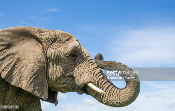 close-up of elephant against sky - elephant head stock-fotos und bilder