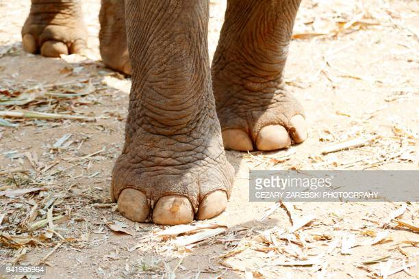 Close-Up of elephant foot