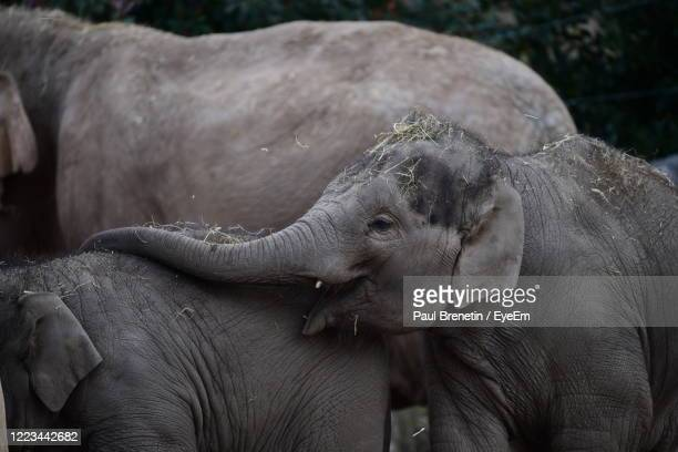 close-up of elephant in zoo - chester zoo stock pictures, royalty-free photos & images