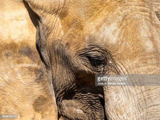 Close-up of elephant of the head, the eye and the skin  Illuminated by sunlight
