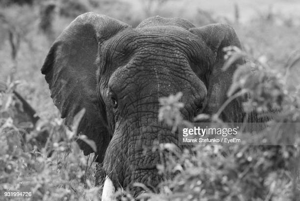 close-up of elephant on field - marek stefunko stock photos and pictures