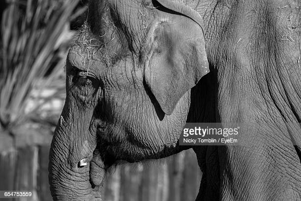close-up of elephant - chester zoo stock pictures, royalty-free photos & images