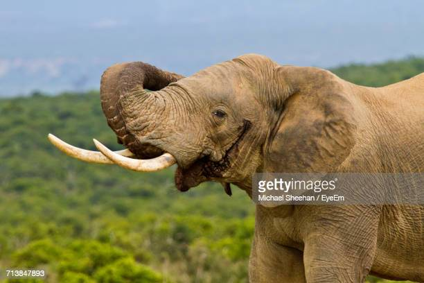 close-up of elephant - african elephant stock pictures, royalty-free photos & images
