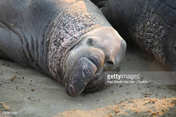 Close-Up Of Elephant Seal On Sand