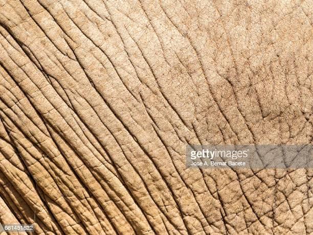 Close-up of elephant skin Illuminated by sunlight