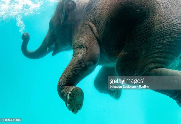 close-up of elephant swimming in sea - asian elephant stock pictures, royalty-free photos & images