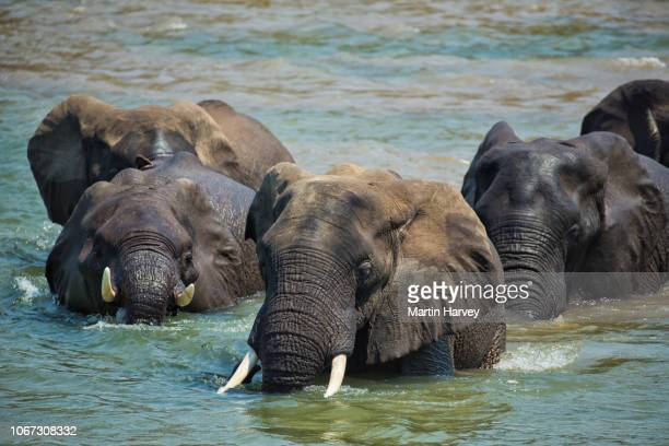 close-up of elephants crossing a river,gonarezhou national park, zimbabwe - parco nazionale foto e immagini stock