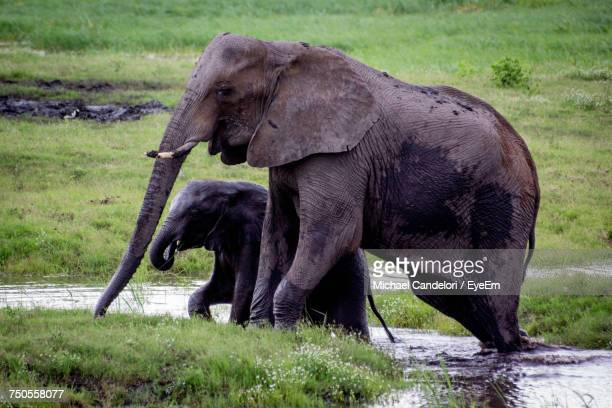 close-up of elephants in water - michael candelori stock pictures, royalty-free photos & images