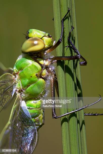 Close-up of Emperor Dragonfly (Anax imperator) after metamorphosis on aquatic plant