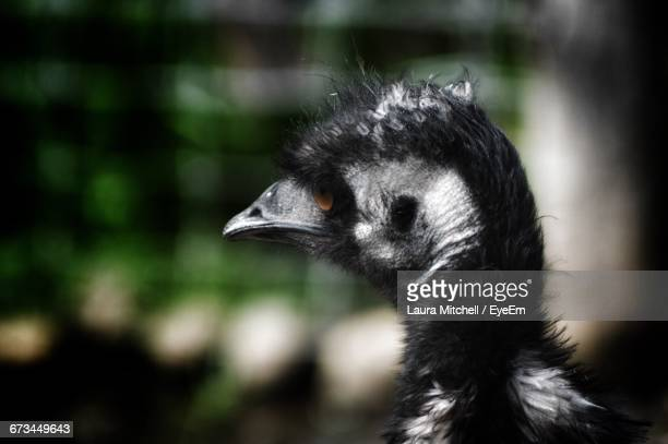 Close-Up Of Emu At Melbourne Zoo