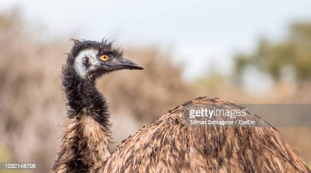 Close-Up Of Emu Looking Away