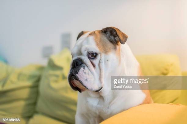 Close-Up Of  english bulldog  on sofa