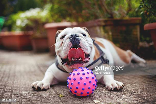 Close-Up Of  english bulldog Puppy Lying Down On Gravel