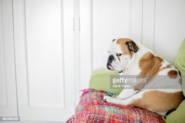 Close-Up Of  english bulldog sleeping on sofa