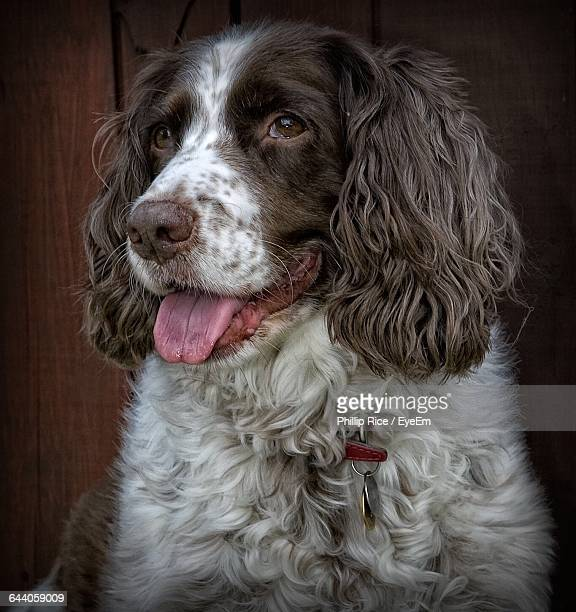 Close-Up Of English Springer Spaniel At Home