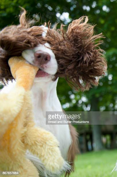 Close-Up of English Springer Spaniel Dog Outdoors Carrying Stuffed Animal Toy
