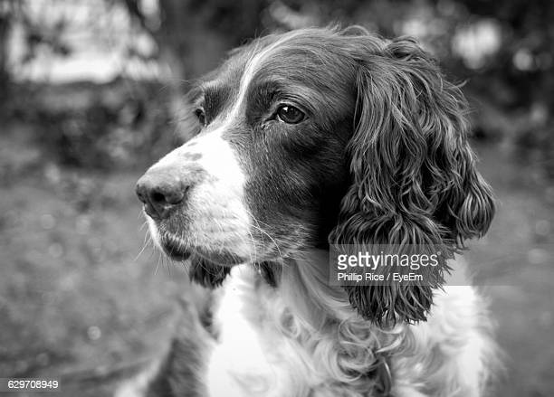 close-up of english springer spaniel looking away - english springer spaniel stock pictures, royalty-free photos & images