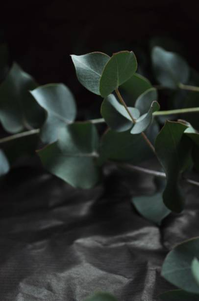 Close-Up Of Eucalyptus Branches On Dark Background