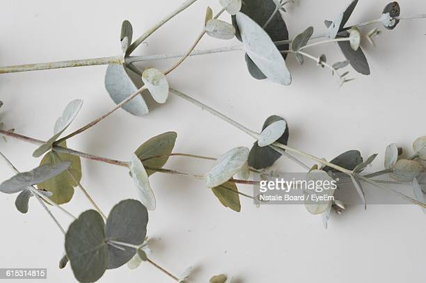 close-up of eucalyptus leaves against white background - eucalyptus tree stock pictures, royalty-free photos & images