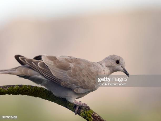 Close-Up of Eurasian Collared Dove, (Streptopelia decaocto).