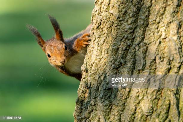 close-up of eurasian red squirrel on tree trunk - リス ストックフォトと画像