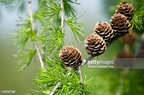 Closeup of European larch cones on a branch with needles in autumn