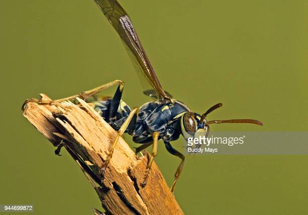 close-up of european paper wasp, polistes dominula - paper wasp stock pictures, royalty-free photos & images