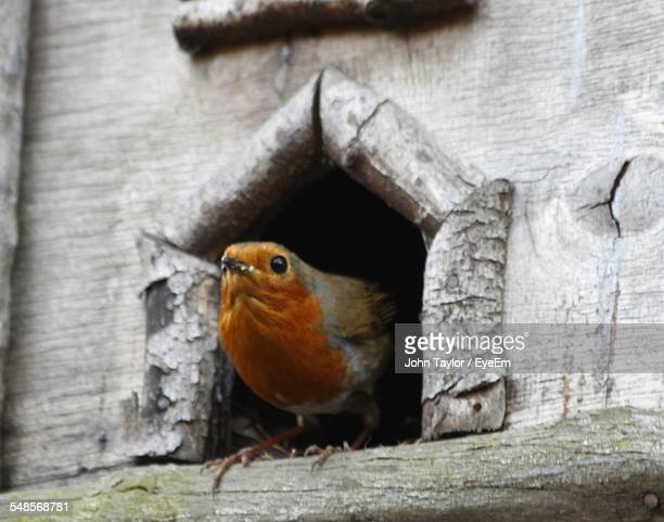 close-up of european robin on birdhouse - robin stock pictures, royalty-free photos & images
