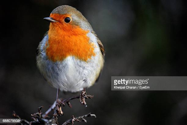 Close-Up Of European Robin Perching On Twig