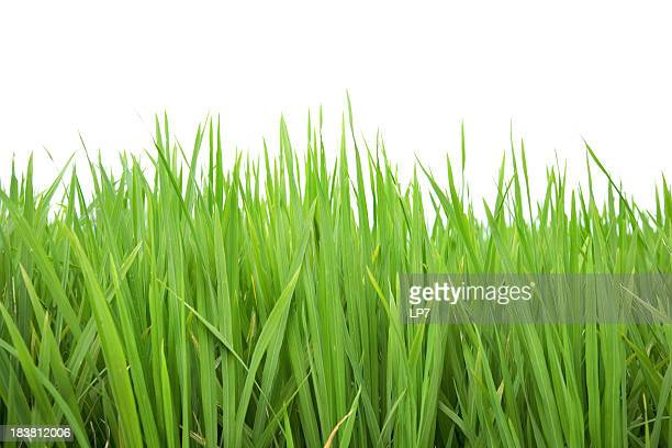 close-up of evergreen grass on white background - rice cereal plant stock pictures, royalty-free photos & images