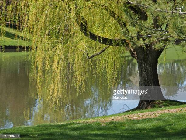 Close-up of evergreen willow tree leaning over river