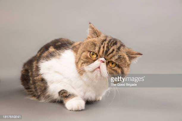 close-up of exotic shorthair cat looking away while lying on gray background - 異国情緒 ストックフォトと画像