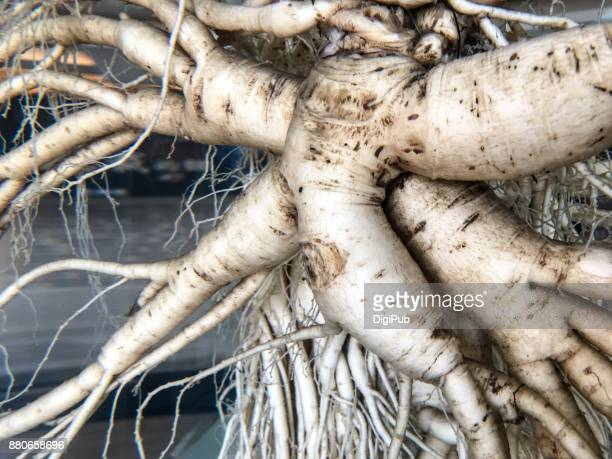 Close-up of extreme big ginseng kept in liquid