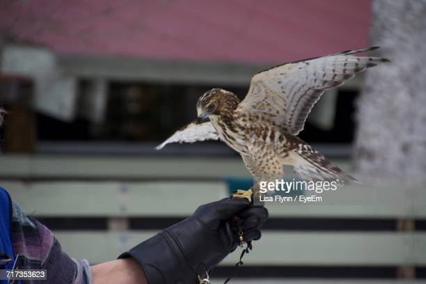 Close-Up Of Falcon On Hand