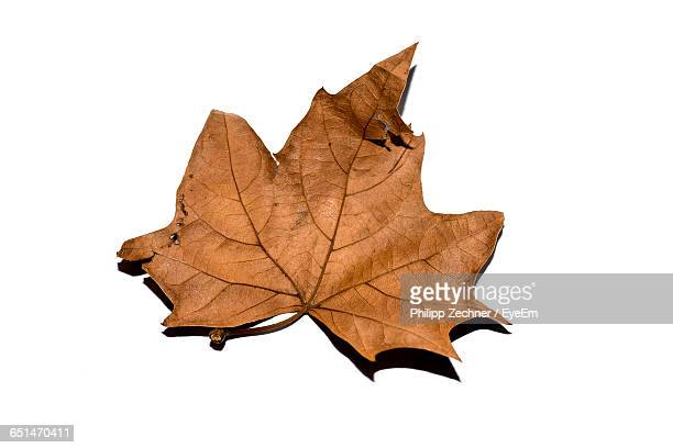 Close-Up Of Fallen Dry Maple Leaf On White Background