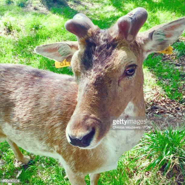 Close-up of fallow deer in dublin's phoenix park