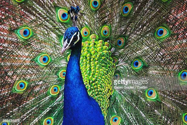close-up of fanned out peacock - peacock stock pictures, royalty-free photos & images