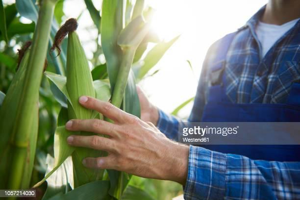 close-up of farmer at cornfield examining maize plants - 作物 ストックフォトと画像