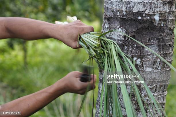 close-up of farmer cutting leaves - metthapaul stock photos and pictures