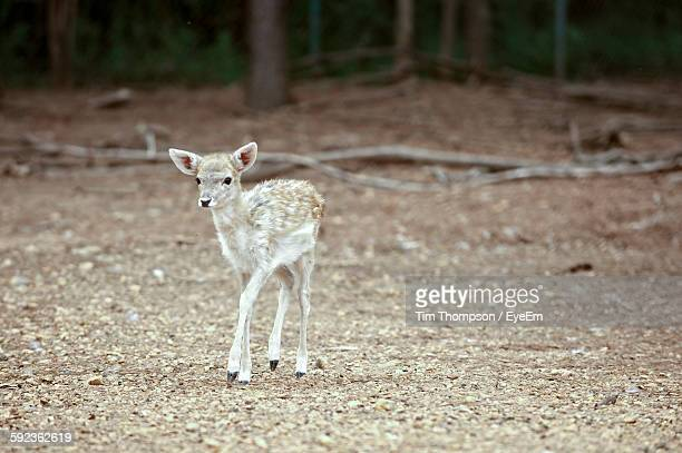 Close-Up Of Fawn On Field
