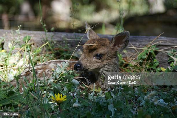 Close-Up Of Fawn Relaxing Amidst Plants