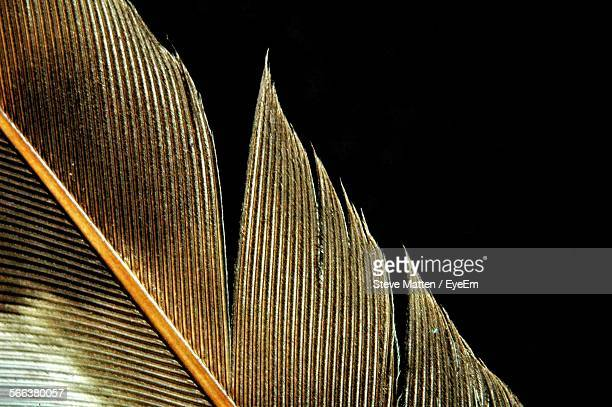 close-up of feather against black background - steve matten stock pictures, royalty-free photos & images