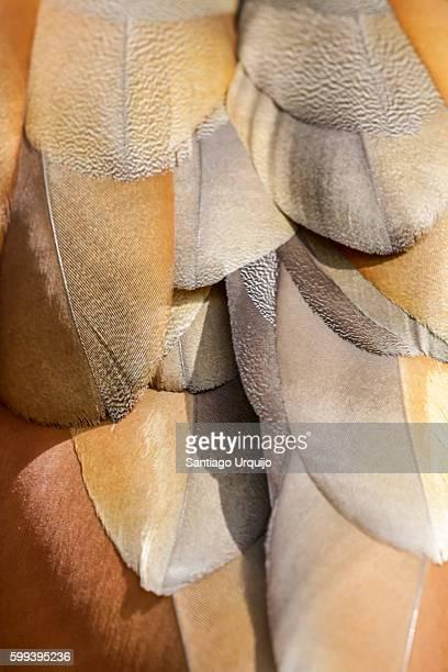 close-up of feathers of egyptian goose - bruin stockfoto's en -beelden