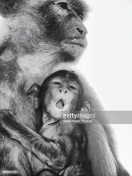 Close-Up Of Female Barbary Macaque With Infant Against White Background