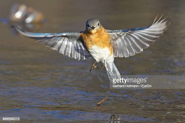 Close-Up Of Female Eastern Bluebird Flying Over Water