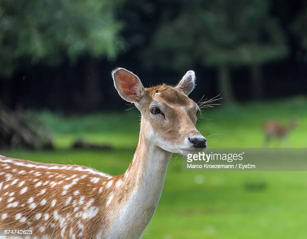 Close-Up Of Female Fallow Deer On Field