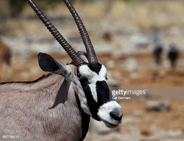 Close-Up of Female Gemsbok in Namibian Desert