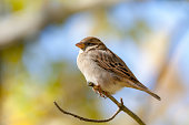 Close-up of female House Sparrow bird on branch